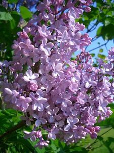 This spring I WILL be transplanting lilac suckers!!! Love them!