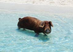 swimmy piggy!