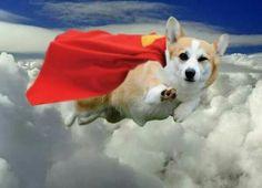 Super Corgi!