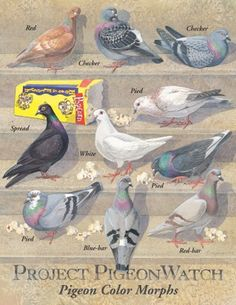 Project Pigeon Watch: Pigeon Color Morphs