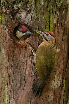Lace Woodpecker (Picus vittatus)