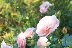 #Rosas en Puerto Arauco #flores