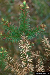 Diseases of spruce trees in Minnesota - University of Minnesota Extension