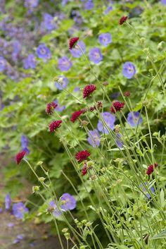 knautia and geranium  by sweber4507, via Flickr