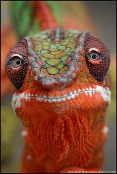 Red Chameleon by Paul Bratescu
