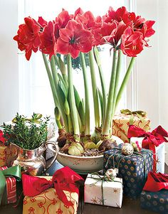Amaryllis holiday, red amarylli, winter, christmas decorations, red flowers, gifts, red christmas, garden, christmas flowers