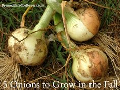 5 Onions Varieties to Grow in the Fall