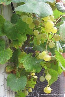Using backyard grapes to make wine