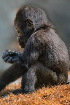 ❤️ baby gorilla