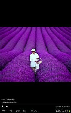 French lavender gardens