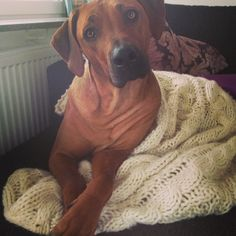 Mini, rhodesian ridgeback, lion dog