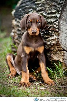 doberman puppy • from  APlaceToLoveDogs.com • dog dogs puppy puppies cute doggy doggies adorable funny fun silly photography