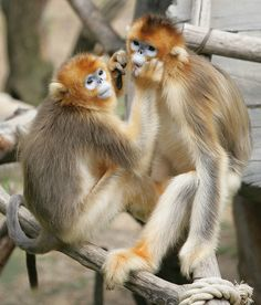 Golden Snub-Nose Monkeys
