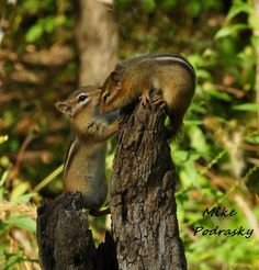 """Resident Mike Podrasky captured this photograph coined 'kissing chipmunks' near his home in southwest Oakland County on Sept. 15, 2009. Podrasky writes: """"I think it represents Oakland County well because it is a nature shot and there is a lot of greenspace and recreational areas in the county. To me, Oakland County is about its parks and wetlands."""""""