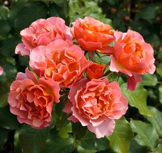 Thrive!® Copper | Star® Roses and Plants