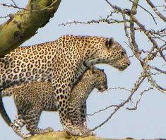 Baby Leopard, The Serengeti, Tanzania