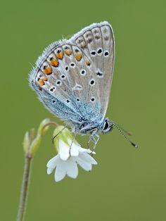 Polyommatus icarus, Azuré commun /Azuré de la Bugrane  http://lepidoptera-butterflies.blogspot.com/ https://www.facebook.com/pages/Macro-Photography-Do-Dema/540798875993427  #butterfly    #macro   #insects    #butterflies   #macrophotography  #lepidoptera  #papillon