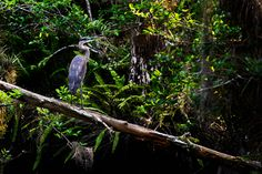 Pic from a short family drive through the Everglades.  Hannah took this one of a Great Blue Heron.