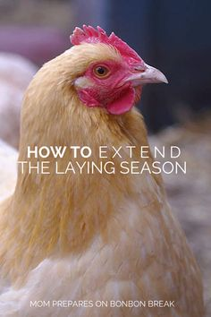How to Extend the Laying Season by MomPrepares  - Homesteading and chickens go hand in hand. How long can you get your chickens to lay?