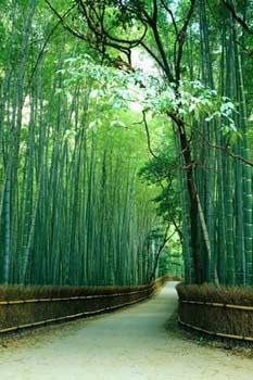 bamboo trees as privacy fence
