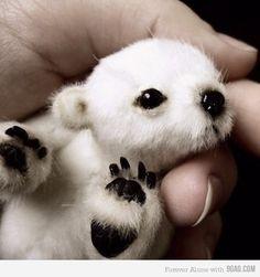 Baby polar bear, too cute :)