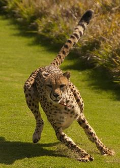 #Cheetahs can accelerate to freeway speeds in just a few strides.