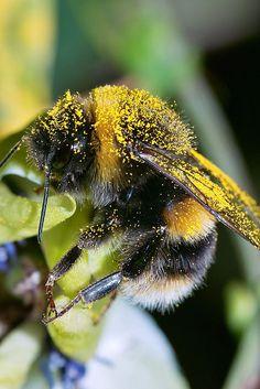Busy bumblebee.
