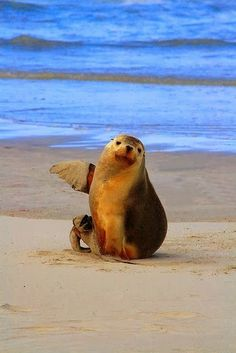 They Went That-a-way ~ Australian Sea Lion