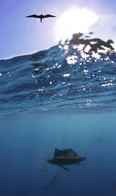 Sailfish by Daniel Botelho