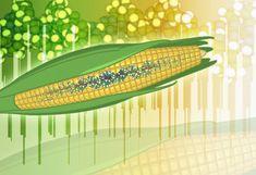 gmo crop, food affect, health articl, modifi food, healthy eating