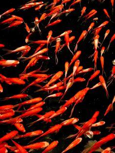 Japanese gold fish, Kingyo 金魚