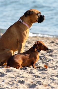 """""""We met on the beach!"""" #dogs #pets #Boxers #Dachshunds Facebook.com/sodoggonefunny"""