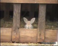 The bunny has been watching the dog herding; now bunny thinks he can herd too