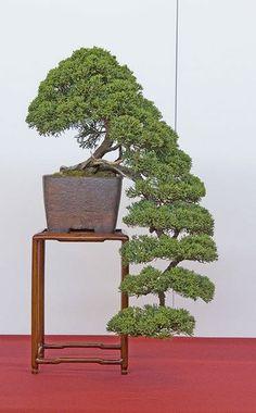 bonsai so rad