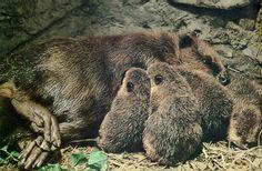 Colony of Beavers