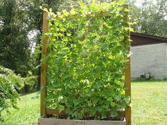 jardinage vertical pour courges