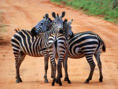 zebra photo | Zebra Huddle Photo, Animals Wallpaper – National Geographic Photo of ...