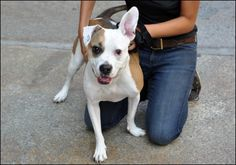 Lola is an eager to learn pitbull mix with lots of love to give! She loves kids, adults and understands city living!     Call Animal Haven at 212.274.8511 and mention you found him on Swifto's Pinterest