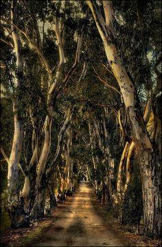 eucalyptus lane | Ojai California