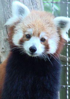 A sweet Red Panda named Ruth by Paula~Koala, via Flickr