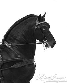 Black Friesian in Harness   Fine Art Horse Photograph by Carol Walker www.LivingImagesCJW.com