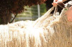 Teeswater Sheep Extreme Tailspinning Locks