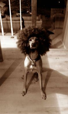 We had a 70's Theme Party. My pup didn't want to get left out. anim, dogs, theme parti, parties, madagascar afro, wigs, 70s parti, 70s party