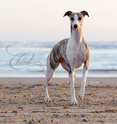 Whippet, GCH CH Starline's Chanel