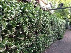 wall of star jasmine, something like this, ivy type to plant on lattice to block the neighbors yard.