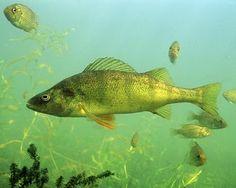 Les bancs de perchaudes et autres petit poissons sont souvent victime des brochets maillé