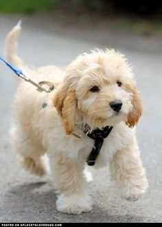 Such a cute little Cavapoo, Cavalier King Charles and Poodle mix puppy on a walk