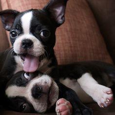 Adorable Boston Terriers