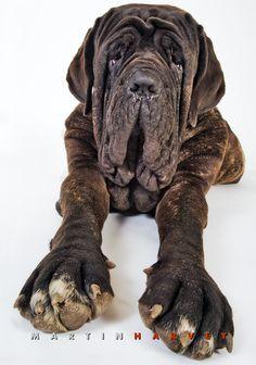 Neapolitan Mastiff dog by Martin Harvey Photography -