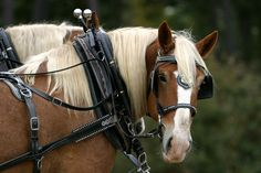 Belgian Draft Horse at The Biltmore Estate by bwdog, via Flickr